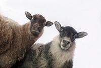 前を見つめるアイスランド生まれの羊