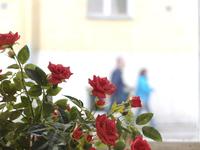 薔薇と歩く人