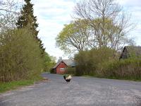 公園の道を歩くニワトリ