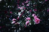 曇天に咲く椿 20021006845| 写真素材・ストックフォト・画像・イラスト素材|アマナイメージズ