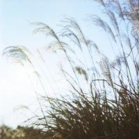 空と輝くススキ 20021006870| 写真素材・ストックフォト・画像・イラスト素材|アマナイメージズ