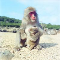 授乳中の猿の親子 20021006871| 写真素材・ストックフォト・画像・イラスト素材|アマナイメージズ