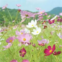 コスモスの花 20021006872| 写真素材・ストックフォト・画像・イラスト素材|アマナイメージズ