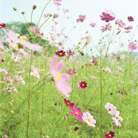 コスモスの花 20021006873| 写真素材・ストックフォト・画像・イラスト素材|アマナイメージズ