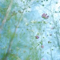 コスモスの花 20021006874| 写真素材・ストックフォト・画像・イラスト素材|アマナイメージズ