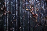 古びた杉板の壁とアイビーの赤い葉 20021006983| 写真素材・ストックフォト・画像・イラスト素材|アマナイメージズ