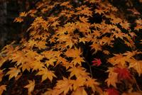 雨に濡れる紅葉の葉 20021006986| 写真素材・ストックフォト・画像・イラスト素材|アマナイメージズ