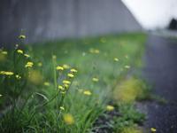 新潟刑務所の壁際に咲くタンポポ 20021006989| 写真素材・ストックフォト・画像・イラスト素材|アマナイメージズ