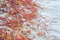 水色の壁とアイビーの赤い葉 20021006993| 写真素材・ストックフォト・画像・イラスト素材|アマナイメージズ