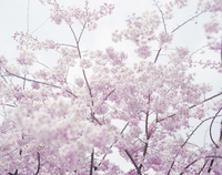 下から見上げる桜 20021007149| 写真素材・ストックフォト・画像・イラスト素材|アマナイメージズ