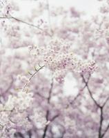 桜の花 20021007150| 写真素材・ストックフォト・画像・イラスト素材|アマナイメージズ
