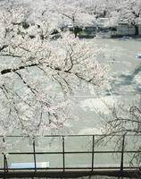 テニスコートの脇に咲く桜の木 20021007152| 写真素材・ストックフォト・画像・イラスト素材|アマナイメージズ