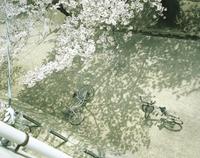 桜の木と木陰に横たわる自転車 20021007153| 写真素材・ストックフォト・画像・イラスト素材|アマナイメージズ