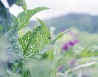 夕暮れの葉につかまる蝉の抜け殻 20021007155| 写真素材・ストックフォト・画像・イラスト素材|アマナイメージズ