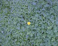 クローバーの中に咲く一輪のタンポポ 20021007165| 写真素材・ストックフォト・画像・イラスト素材|アマナイメージズ