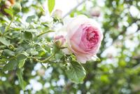 バラの花 20021007258| 写真素材・ストックフォト・画像・イラスト素材|アマナイメージズ