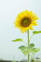ヒマワリの花 20021007261| 写真素材・ストックフォト・画像・イラスト素材|アマナイメージズ