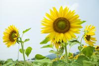 ヒマワリの花 20021007262| 写真素材・ストックフォト・画像・イラスト素材|アマナイメージズ