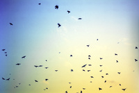 夕暮れ時空を飛ぶカラスの群れ