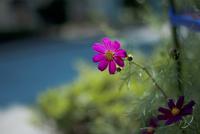 赤い花 20021007331| 写真素材・ストックフォト・画像・イラスト素材|アマナイメージズ