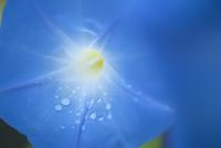 青い朝顔 20021007376| 写真素材・ストックフォト・画像・イラスト素材|アマナイメージズ