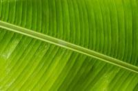 Detail of banana leaf
