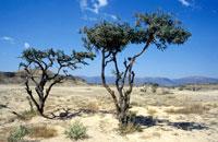 Frankincense Trees, Near Salalah