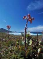 Fynbos plants growing beside the sea
