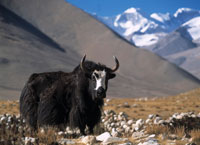 Yak in fields beneath Mt Everest
