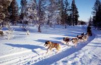 Dog sledding 20023001249| 写真素材・ストックフォト・画像・イラスト素材|アマナイメージズ