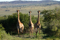 Giraffe sighting on game drive safari
