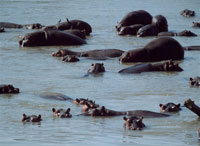 Hippos wallowing in the Luangwa River