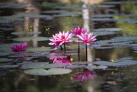 Water lillies in pond