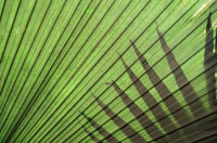 Detail of palm tree.