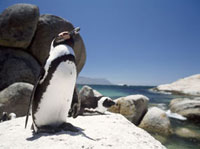 Penguins sunning themselves on rocks at Boulders Beach