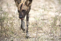 African Wild Dog (Lycaon pictus) walking