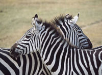 Two zebras in Ngorogoro National Park