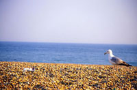 Seagull walking on Brighton Beach