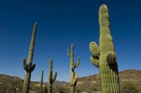 Saguaro cacti in Sonoran Desert