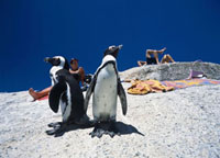 Penguins and tourists sunbathing�CBoulders Beach
