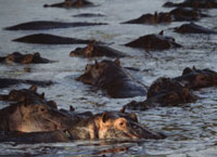 Hippos wallowing in pool at dusk