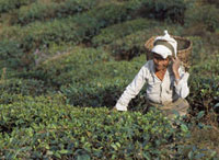 Lady picking tea