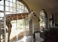 Giraffe looking into living room