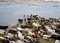 Diafarabe annual Fulani cattle crossing