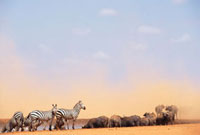 Zebras and water buffalo at a watering hole