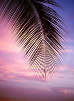 Palm tree branch at sunset,close up
