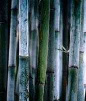 Detail of green bamboo in bamboo park,Chengdu,Sichuan
