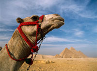 Camel in front of Great Pyramids of Giza