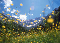 Looking up through field of buttercups towards mountains