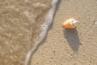 Conch shell on the beach with ocean,close up